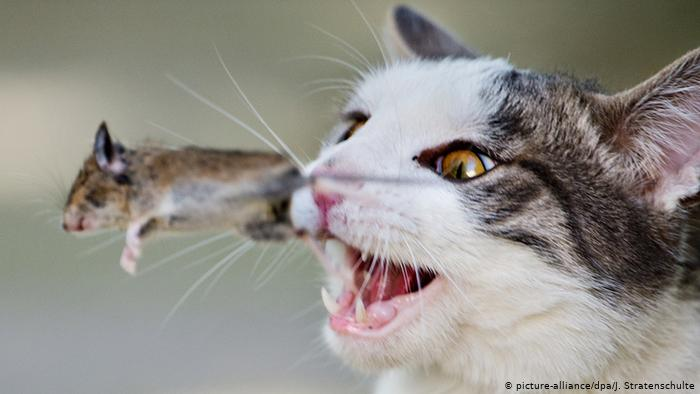 A cat playing with a mouse (picture-alliance/dpa/J. Stratenschulte)